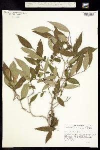 Image of Lyonia ligustrina