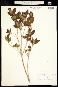 Image of Menziesia ferruginea