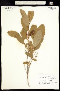 Image of Lyonia mariana