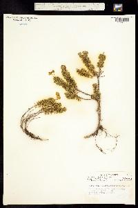 Image of Phyllodoce glanduliflora