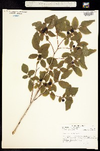 Image of Vaccinium ovalifolium