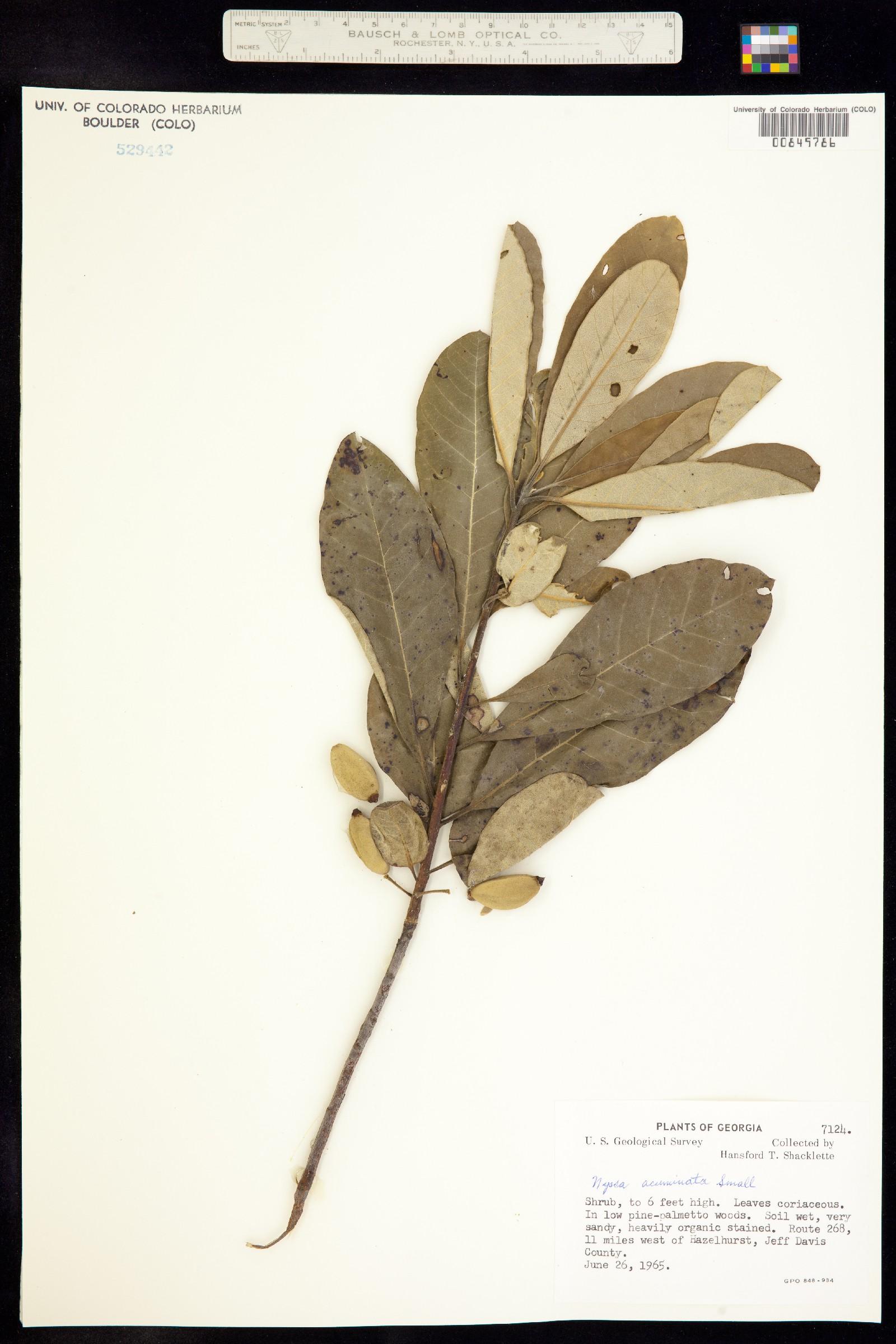 Nyssa acuminata image