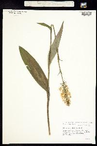 Image of Platanthera ciliaris