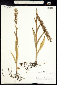Image of Platanthera repens