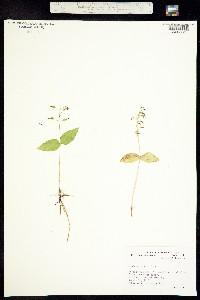 Image of Listera banksiana