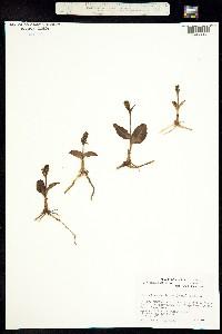 Image of Platanthera chorisiana