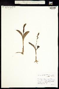 Platanthera chorisiana image