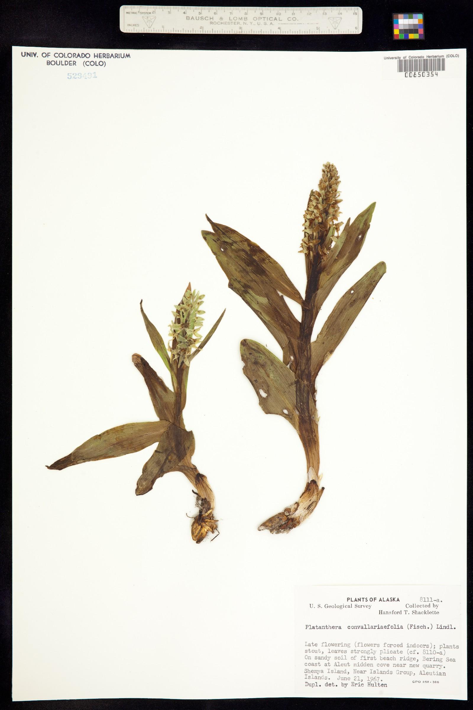 Platanthera convallariifolia image