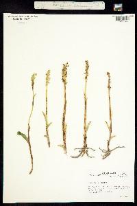 Image of Platanthera stricta