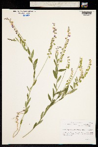 Image of Asemeia grandiflora