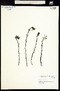 Image of Monotropa uniflora