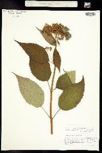 Image of Hydrangea arborescens