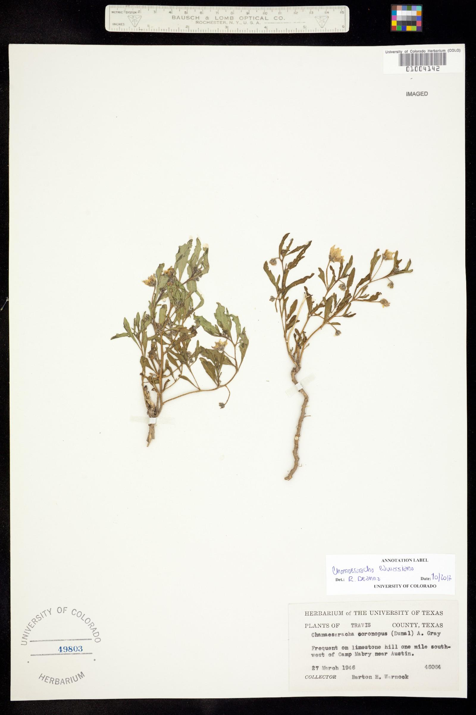 Chamaesaracha edwardsiana image