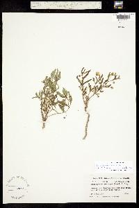 Image of Chamaesaracha edwardsiana