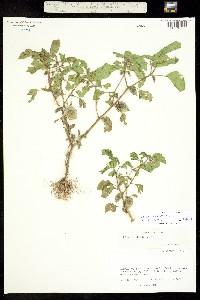 Physalis neomexicana image