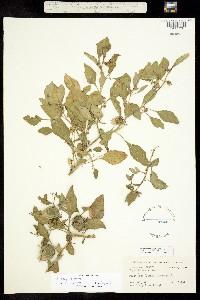 Image of Physalis lanceolata