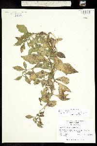 Physalis lanceolata image
