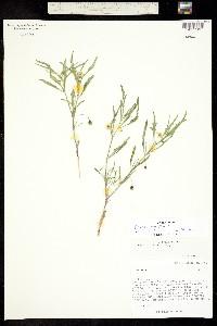Physalis angustifolia image