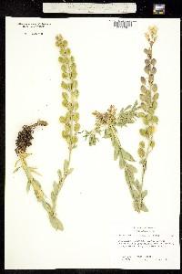 Image of Alyssoides utriculata