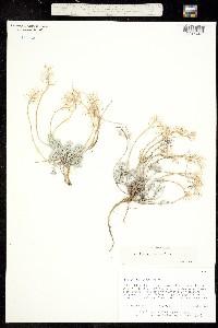 Alyssum obovatum image