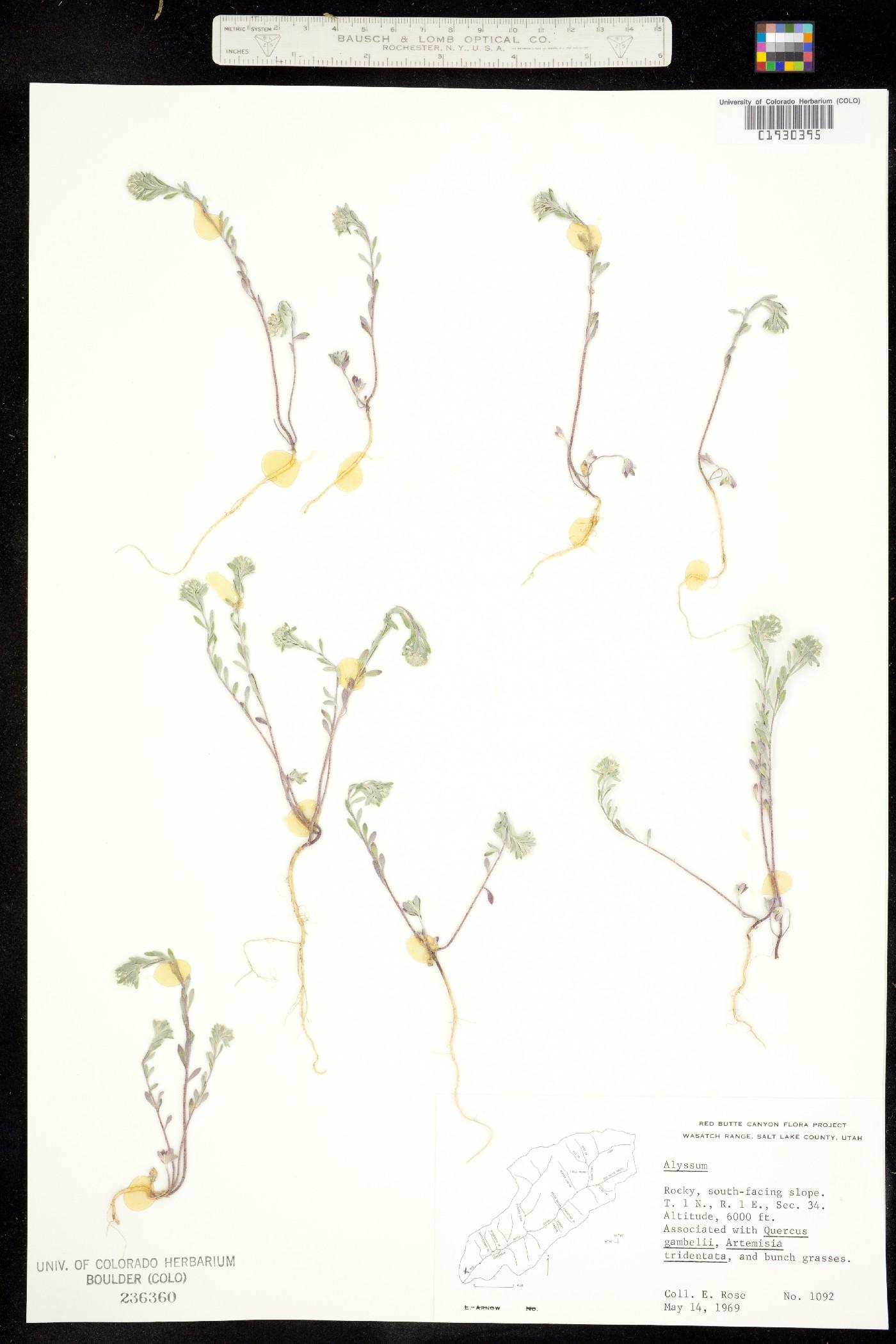 Alyssum szovitsianum image