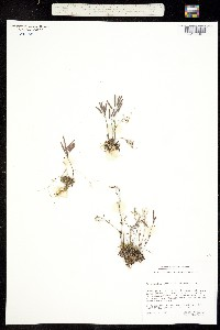 Image of Arabidopsis arenicola