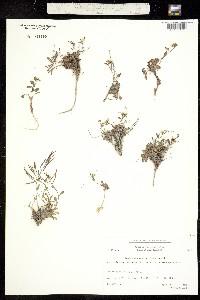 Arabis arenicola image