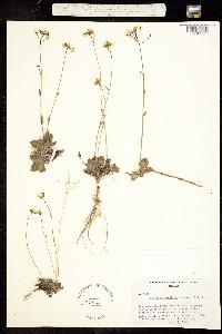 Image of Arabis crucisetosa