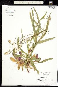 Image of Boechera laevigata