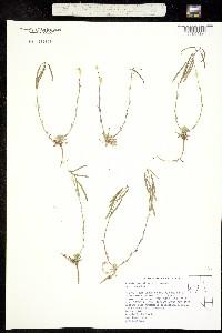 Image of Boechera pendulina