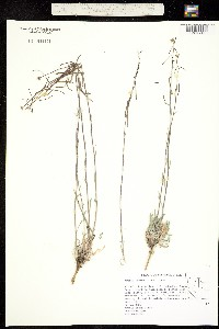 Image of Boechera cobrensis
