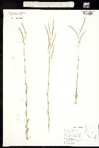 Image of Boechera rigidissima