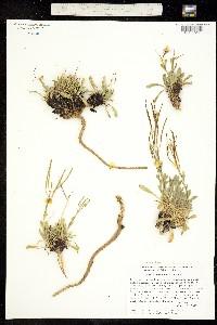 Boechera davidsonii image