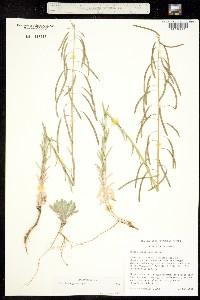 Image of Boechera gracilipes