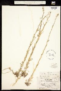 Boechera holboellii image