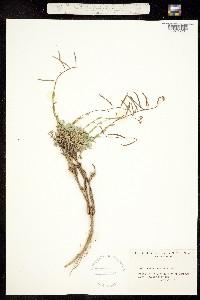 Boechera lemmonii image