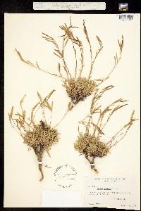 Image of Boechera lyallii
