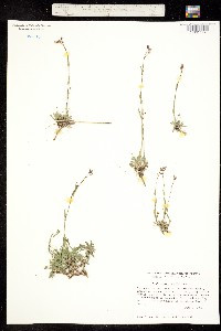 Image of Boechera microphylla