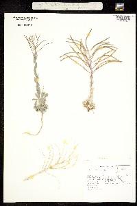 Boechera shockleyi image