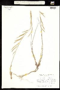 Image of Boechera suffrutescens