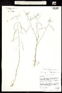 Image of Boechera falcifructa