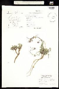 Boechera inyoensis image