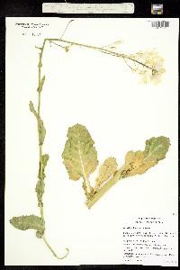 Image of Brassica oleracea
