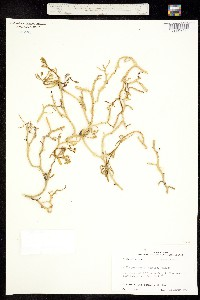 Image of Cakile geniculata