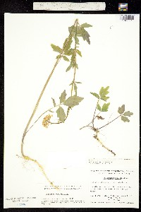 Cardamine angulata image
