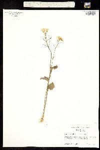 Image of Cardamine bulbosa