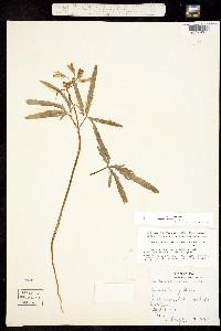 Image of Cardamine concatenata