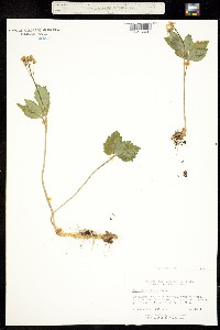 Image of Cardamine diphylla