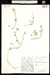 Image of Cardamine microphylla