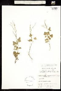 Image of Cardamine clematitis